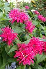 /Images/johnsonnursery/product-images/Monarda Balmy Rose070916_210ke7hi7.jpg
