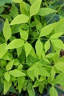 /Images/johnsonnursery/product-images/Nandina Lemon Lime032516LR_1v726s2j4.jpg