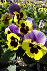 /Images/johnsonnursery/product-images/Pansy Delta Yellow Purple Wing4091813_8rdshbucz.jpg