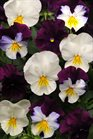 /Images/johnsonnursery/product-images/Pansy_Cool_Wave_Berries_N_Cream_Mix_Bloom_6716_qn11p9h6s.jpg