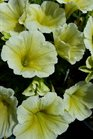 /Images/johnsonnursery/product-images/Petunia Potunia Plus Yellow040816_a9khoafrl.jpg