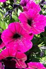 /Images/johnsonnursery/product-images/Petunia Shock Wave Deep Purple2041117_do6h47uc2.jpg