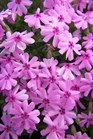 /Images/johnsonnursery/product-images/Phlox Fort Hill 040207_58n63qekn.jpg