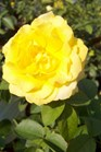 /Images/johnsonnursery/product-images/Rosa Julia Child052711_2encq6z2d.jpg