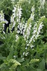 /Images/johnsonnursery/product-images/Salvia Lyrical White2040116_gmuti5xbf.jpg