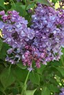 /Images/johnsonnursery/product-images/Syringa Scentara Double Blue_v30pe8shx.jpg