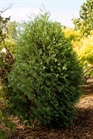 /Images/johnsonnursery/product-images/Thuja Technito_pzkof5s49.jpg