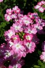 /Images/johnsonnursery/product-images/Verbena Lanai Upright Pink with Eye2032316_exmki22nv.jpg