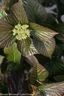 /Images/johnsonnursery/product-images/Viburnum Shiny Dancer_o05xixefi.jpg