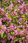 /Images/johnsonnursery/product-images/Weigela Snippet Lime_eu0kwepe0.jpg