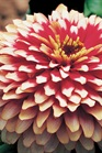 /Images/johnsonnursery/product-images/Zinnia Swizzle Cherry and Ivory_ahk2j50la.jpg