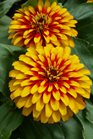 /Images/johnsonnursery/product-images/Zinnia Swizzle Scarlet and Yellow2050216_fu4jh364b.jpg